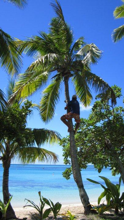 Man gathers coconuts in Fiji